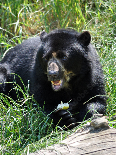 Bear in summer