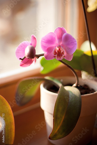 pink orchid in the pot is on the window