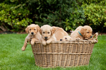 Golden retriever puppies in a basket