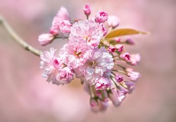 Sakura. Blossomed Japanese cherry trees