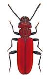 Cucujus cinnaberinus, a rare and endangered European beetle poster