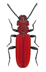 Cucujus cinnaberinus, a rare and endangered European beetle