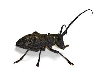 Longhorn beetle Morimus asper isolated on white