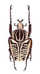 Goliathus albosignatus beetle isolated on white