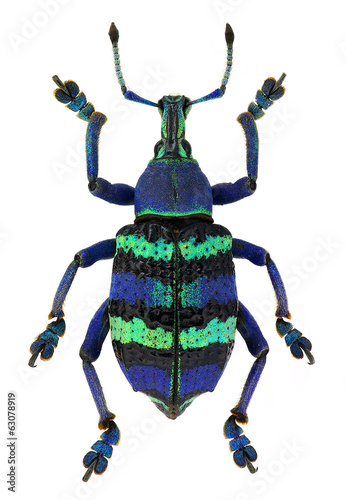blue exotic beetle Eupholus magnificus isolated on white