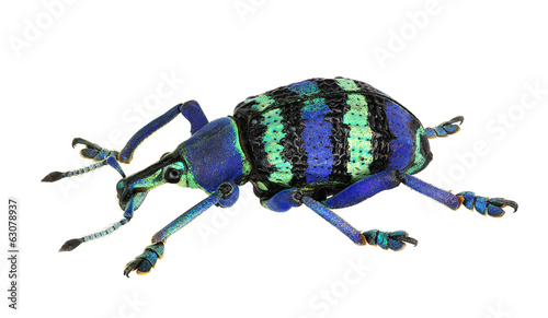 Eupholus magnificus, an amazing weevil from Papua New Guinea