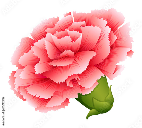 A fresh carnation pink flower