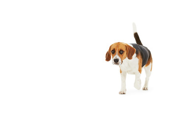 Studio Shot Of Beagle Dog Walking Against White Background