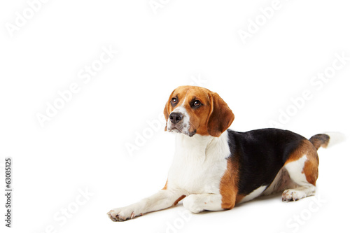 Studio Portrait Of Beagle Lying Dog Against White Background