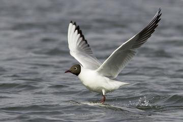 Black-headed Gull in flight / Chroicocephalus ridibundus