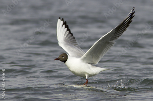 Black-headed Gull in flight / Chroicocephalus ridibundus