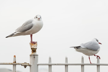 White bird seagulls