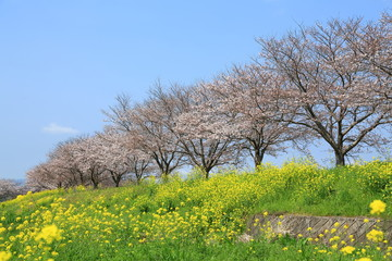 桜並木と菜の花と青空