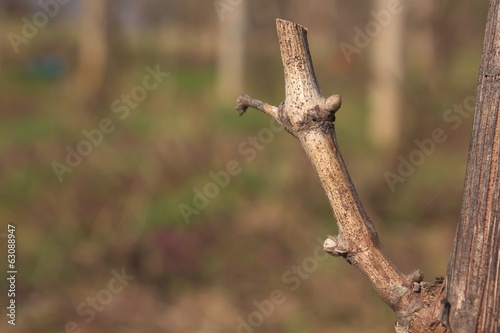Buds on vine