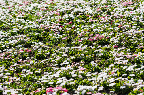 White And Pink Daisies Field Blossom In Spring