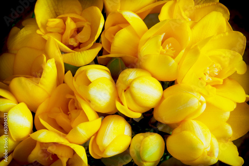 Beautiful yellow freesia