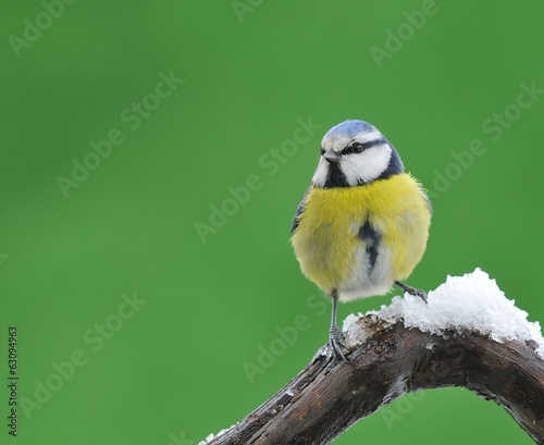 Blue tit in snow.