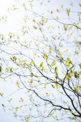 Fresh leaves of dogwood (Cornus florida) and sunshine
