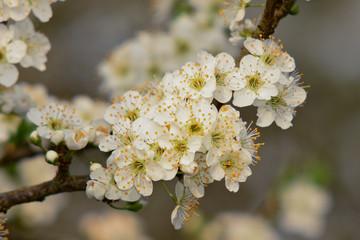 prugnolo (Prunus spinosa) in fiore