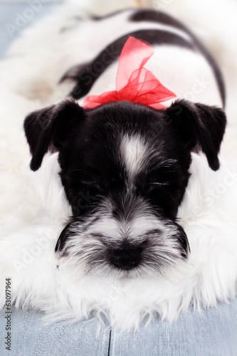 Parti Color Miniature Schnauzer
