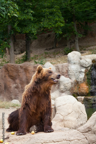 Big Kamchatka brown bear among stones
