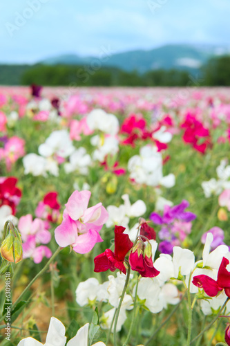 Colorful Lathyrus