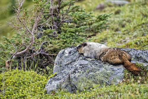 Rocky Mountains Canadian Marmot Portrait