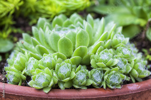 Spiderweb Sedum