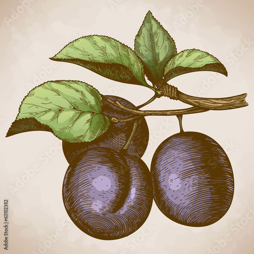 engraving plum on the branch in retro style