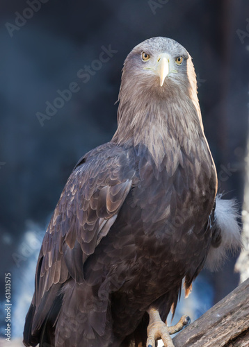 portrait of an eagle close