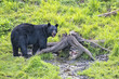 A black bear while eating a donut