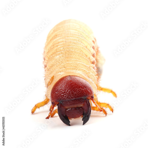 Larva of beetle isolated on white