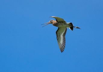 Black-tailed Godwit in flight