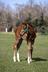 Few weeks old foal in the green field