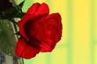Róża czerwona.