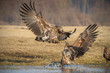 Obrazy drukowane na płótnie, fototapety, zdjęcia, fotoobrazy cyfrowe : Sea eagle squabble