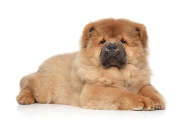 Chow chow puppy lying on white background