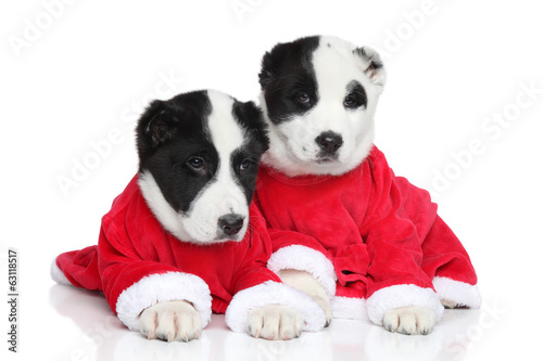 Central Asian Shepherd puppies in red clothes