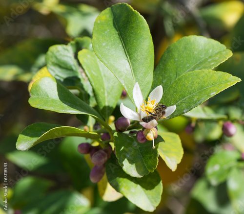 Bee on lemon blossom.