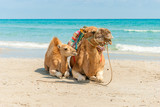Two Camels Sitting on the Beach