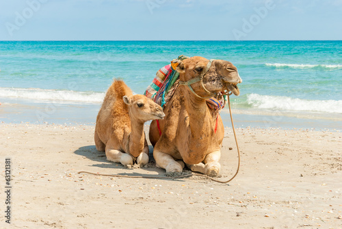 Foto op Canvas Kameel Two Camels Sitting on the Beach