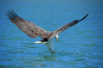 White-bellied Sea Eagle hunting, Langkawi island, Malaysia