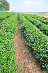 tea plantation ,North of thailand