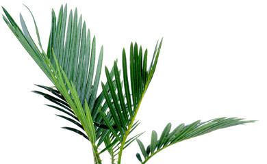 Green Palm Leafs