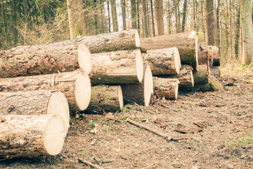Spruce Timber Logging in Forest