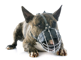 bull terrier and muzzle