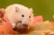 オニグルミを食べるキンクマハムスター