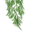 fresh dill herb isolated