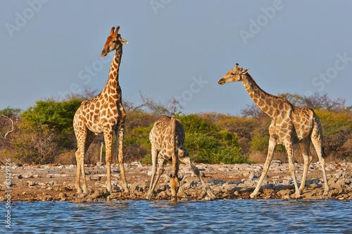 In de dag Giraffe three giraffes drink in a waterhole in the Etosha National Park