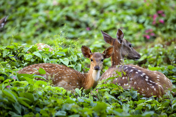 Cute fawn resting with mother, Sri Lankan axis deer